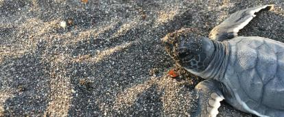 Turtle hatchlings scurrying into the ocean at the Spring Break Conservation Project in Mexico